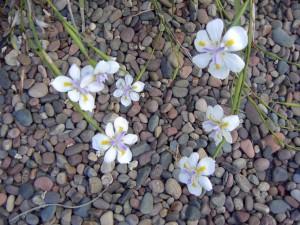 river stones & flowers