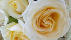 1250 roses